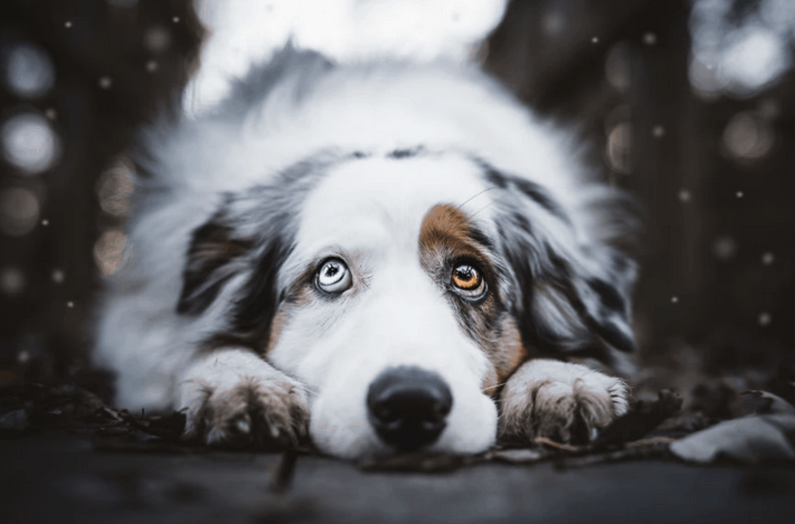 santa ana dog bite injury lawyers razavi law group